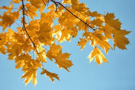 yellow maple leaves on branches on background of autumn sky.