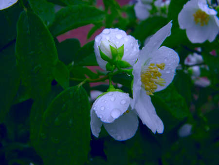 Jasmine flowers macro view. Beautiful summer background. Soft focus, shallow depth of field