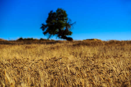 crop wheat grain seed