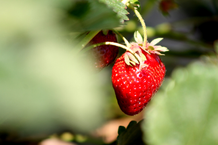 palate: True strawberry real flavor in the nature Stock Photo