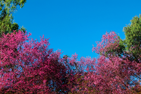 Full of pink blossom looking through the sky.