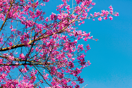 Full of pink cherry blossom looking through the sky.