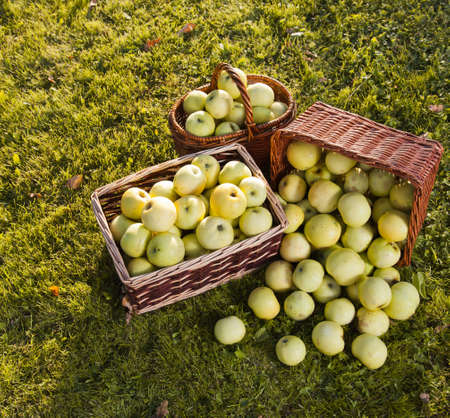 Green apples in baskets photo