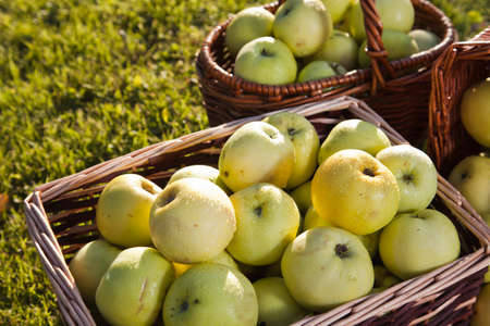 Green apples in baskets Stock Photo - 15376092