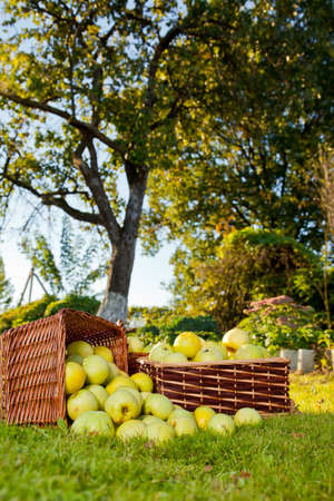 Green apples in baskets Stock Photo - 15376097