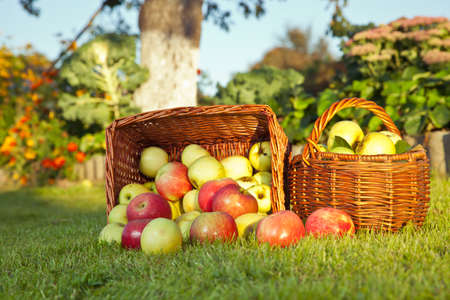 Red and green apples in basket Stock Photo - 15376095