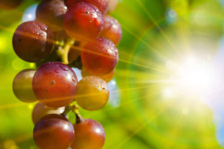 wine and grapes: Sunny grapes