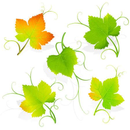 vine and leaves of vine: Grape leaves.