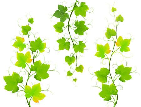 vitis: Grape leaves. Vector