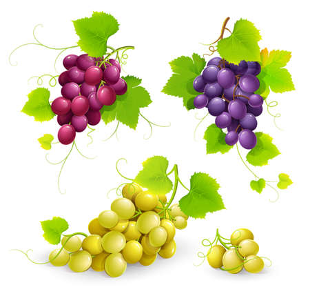 white grape: Bunches of grapes. Vector