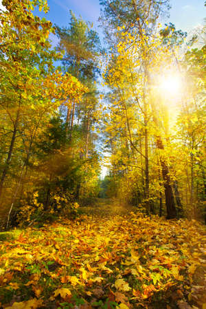 restful: Autumn forest in the sun Stock Photo