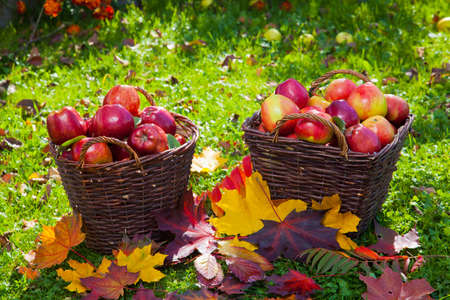 green and red apples in basket. basket with red apples photo green and in