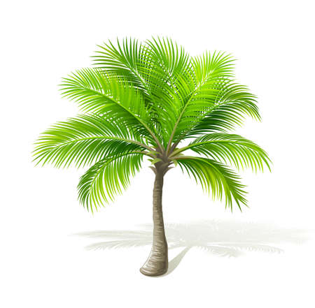 palm leaf: Palm tree