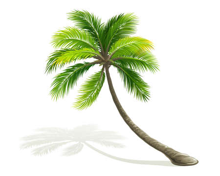 palm tree isolated: Palm tree