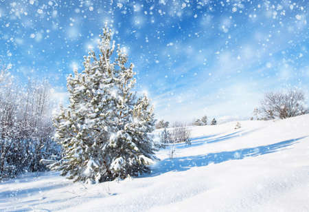 coniferous tree: Winter background with spruce