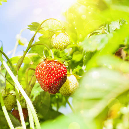 Fresh strawberries plant closeup with bright sunlight photo