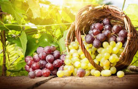 Trauben in einem Korb auf dem Hintergrund der Weinblätter im Sonnenlicht