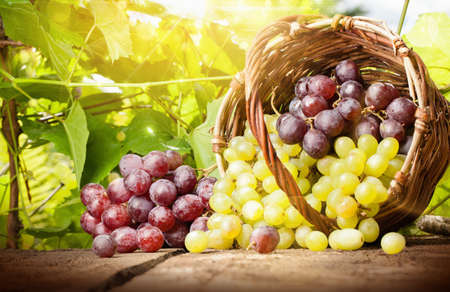 rot: Trauben in einem Korb auf dem Hintergrund der Weinblätter im Sonnenlicht