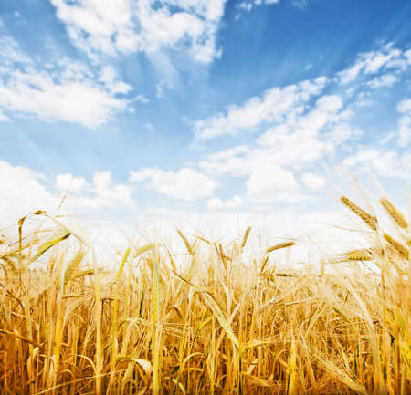 Wheat field and blue sky with clouds photo