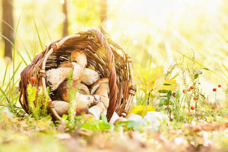 fall mushroom: Natural background with mushrooms and bright sunlight