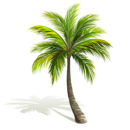coconut leaf: Palm tree with shadow isolated on white. Vector illustration