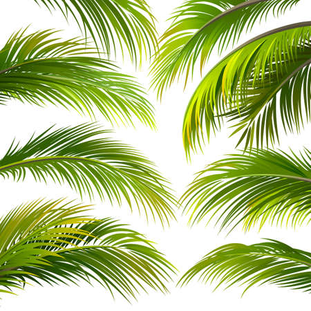 frond: Palm leaves isolated on white. Vector illustration