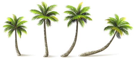albero da frutto: Palme con ombra isolato su bianco. Illustrazione vettoriale