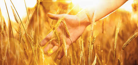 cereals holding hands: Hand in wheat in the sunlight. Solar wheat Stock Photo