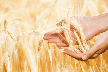 cereals holding hands: Male hands care about wheat Stock Photo