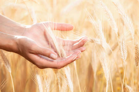cereals holding hands: Women hands care about wheat