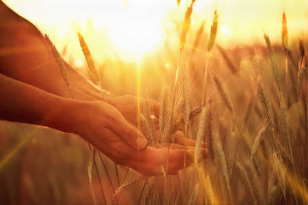 cereals holding hands: Wheat ears in the hand. Harvest concept