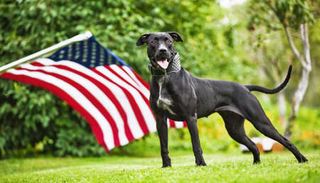 American Pit Bull with American Flag on natural background