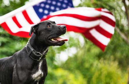 American Pit Bull mit der amerikanischen Flagge auf natürlichen Hintergrund Standard-Bild - 60695287