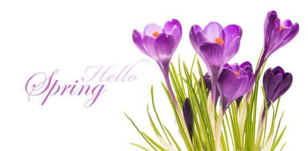 beautiful flowers: Crocus Spring Flowers Stock Photo