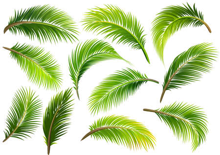 Foglie di palma isolate su bianco. Illustrazione vettoriale Archivio Fotografico - 81070694