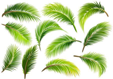 Palm Blätter isoliert auf weiß. Vektor-Illustration Standard-Bild - 81070694