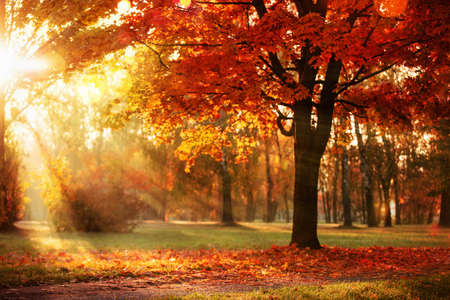 Autumn Landscape. Fall Scene. Trees and Leaves, Foggy Forest in Sunlight Rays
