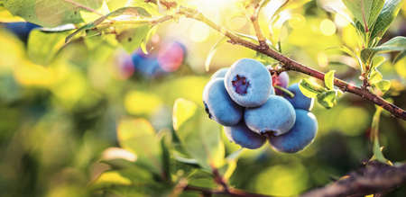 Juicy and Fresh Blueberries with Green Leaves. Natural background