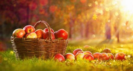 Apples in a Basket Outdoor. Sunny Background. Autumn Garden Stockfoto
