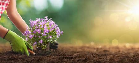 Planting Flowers In Sunny Garden. Spring Gardening Works Concept