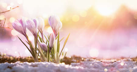 Springtime. Spring Flowers in Sunlight. Outdoor Nature