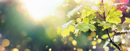 Beautiful Nature Scene with Maple Leaves and Sun Flare. Sunny day. Spring Background with Blurred Effect and Warm Light. Springtime