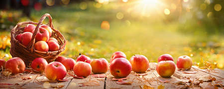 Apples in a Basket Outdoor. Sunny Background. Autumn Garden Standard-Bild