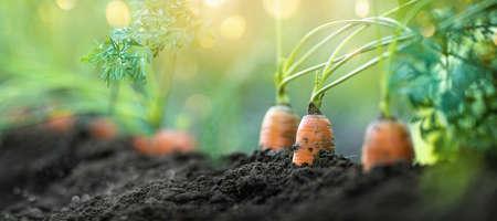 Carrot Vegetable Grows in the Garden in the Soil Organic Background Closeup Standard-Bild