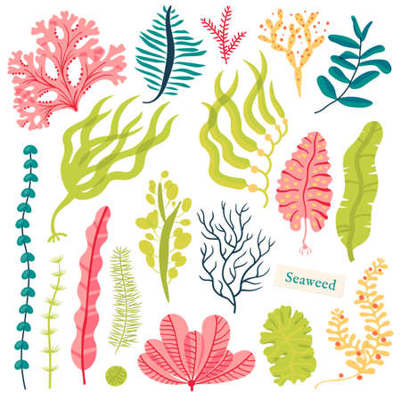 Sea plants and aquatic marine algae. Seaweed set vector illustration isolated on white Banco de Imagens - 79944943