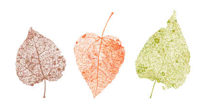Set di foglie di scheletri. Fogliame caduto per disegni autunnali. Foglia naturale di pioppo tremulo e betulla. Illustrazione di vettore colorato.