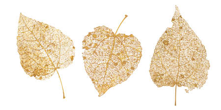 Set of golden leaves skeletons. Fallen foliage for autumn designs. Natural leaf of aspen and birch. Vector illustration. 向量圖像