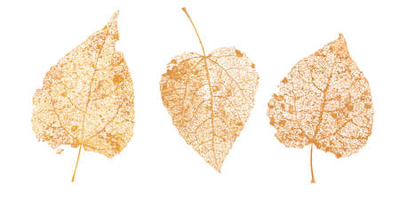 Set of golden leaves skeletons. Fallen foliage for autumn designs. Natural leaf of aspen and birch. Vector illustration. 일러스트