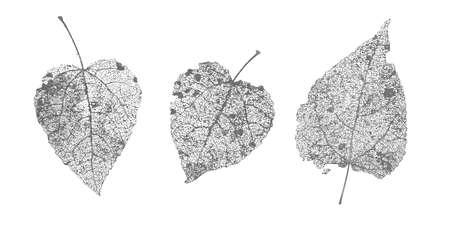 Conjunto de hojas de esqueletos grises negros sobre fondo blanco. Follaje caído para diseños otoñales. Álamo y abedul de hoja natural. Ilustración de vector.