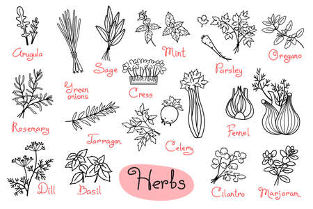 Set drawings of herbs used in cooking for design menus, recipes and packages product. Vector Illustration.